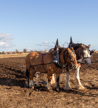 Plough Horse Teams