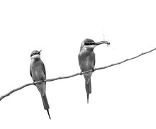 Two Bee-eaters On A Twig. Very...