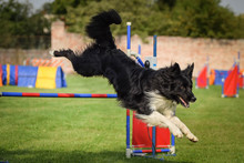 Dog Border Collie Is Jumping Over The Hurdles. Amazing Day On Czech Agility Competition.
