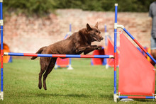 Kelpie Is Jumping Over The Hurdles. Amazing Day On Czech Agility Competition.