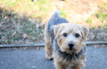 Sherlock The Norfolk Terrier