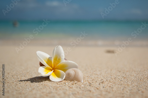 Canvas Prints Plumeria Plumeria Flower with shell of a snail on the beach