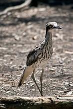 The Bush Stone Curlew Stands S...