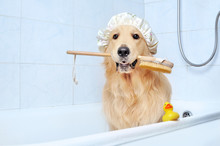Golden Retriever In A Bathtub ...