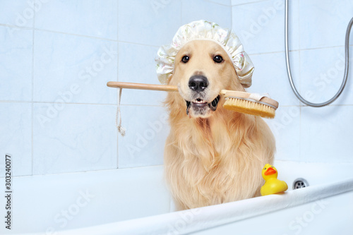 Foto Golden retriever in a bathtub holding bath sponge in mouth