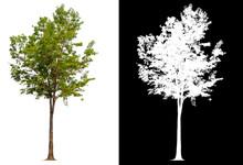 Isolated Tree On White Backgro...