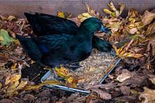 Two Cayuga Ducks, Beautiful Ir...