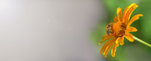 Banner. Bee. One Bee Collects Nectar On A Bright Yellow Flower, On The Left There Is A Place Under The Signature.