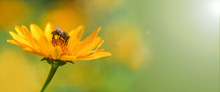 Banner. Bee. One Bee Close Up Collects Nectar On A Yellow Flower On A Sunny Day ,on The Right There Is A Place Under The Signature. Macro