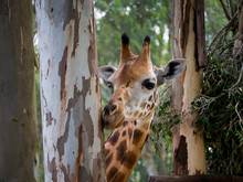 Closeup Of A Giraffe Eating The Barks From An Eucalyptus Tree Trunk On A Bright Day
