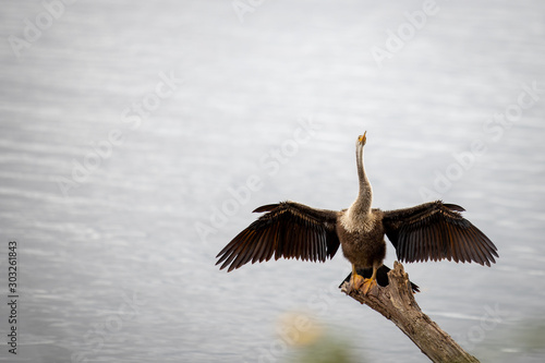Photo Anhinga 08
