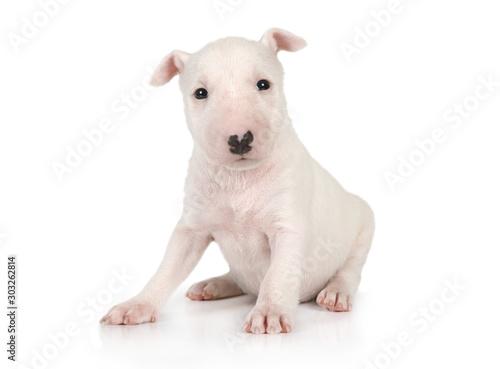 Fotografia Cute Miniature Bull Terrier puppy one month old