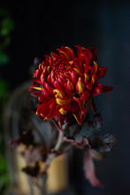 Only Chrysanthemum. Bouquet Of Flowers. Natural Fresh Flower.