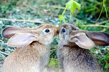 Two Grey Rabbits Eating Grass