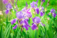 Purple Irises Flowers On Natural Green Background.