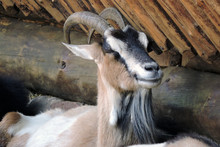 A Brown Black And White Goat W...