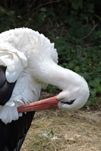 A Portrait Of A White Stork With A Broken Wing And Preening Its Feathers