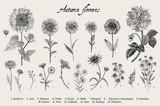 Fototapeta Kwiaty - Vintage vector botanical illustration. Set. Autumn flowers. Black and white