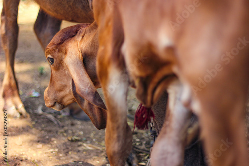 Indian cow standing on ground Wallpaper Mural