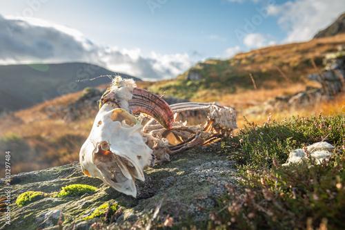 Foto auf AluDibond Grau Sheep Skeleton on Mountain Top Rocks in Lake District