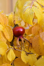 Rosa Rugosa Orange Rosehips And Yellow Leaves In Autumn