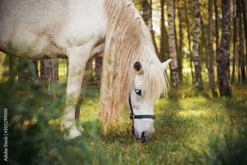 A beautiful gray horse with a long matted mane eats grass in a clearing among a birch grove, illuminated by the morning rays of the sun Fototapete