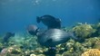 Humphead or bumphead parrotfish Bolbometopon muricatum group
