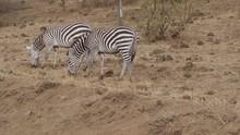 A Pair Of Striped Zebras Grazi...