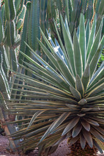 Moroccan Succulent Plants In A Mediterranean Garden (Marrakech)