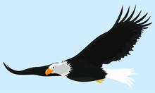 Sea Eagle In Glide Flight In T...