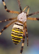 Argiope Orb Weaver (wasp Spider) Dorsal View Details.