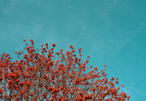 Bright background. Red Rowan berries against the blue sky. Canvas Print