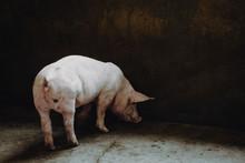Pig Farm Industry Farming Hog ...