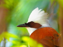 White-crested Laughing Thrush ...