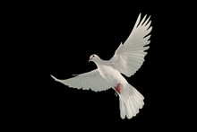 White Dove Flying On Black Background And Clipping Path .freedom Concept And International Day Of Peace