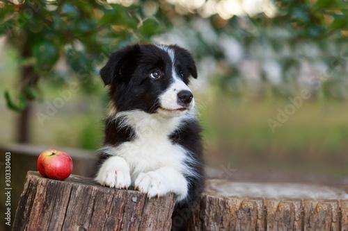 Fotomural Dog breed Border Collie