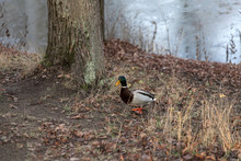 Sleepy Fat Ducks In The Park I...