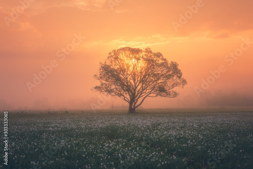 Foto auf Gartenposter Cappuccino Amazing nature landscape with misty single tree and flowering meadow of white wild growing narcissus flowers at sunrise. Daffodil valley, nature reserve near Khust, Transcarpathia, Ukraine