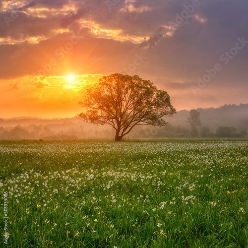 Amazing nature landscape with single tree and flowering meadow of white wild growing narcissus flowers in morning dew at sunrise. Daffodil valley, nature reserve near Khust, Transcarpathia, Ukraine