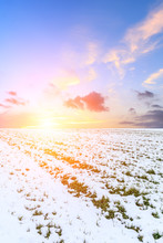 Farmland Wheat Seedlings Covered With Snow And Sky Sunset Clouds In Winter