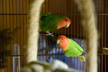 Two Lovebirds Posing In Their ...