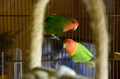 Papel de parede Two lovebirds posing in their cage red and green birds