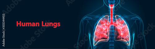 Photo Human Respiratory System Lungs Anatomy