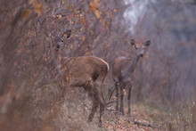 Two Beautiful Young Deer Stand On The Forest Road. One Is Watching From Behind A Tree. They Look Into The Camera.