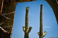 Cactus At Saguaro National Park