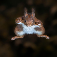 Cute Eurasian Red Squirrel (Sc...