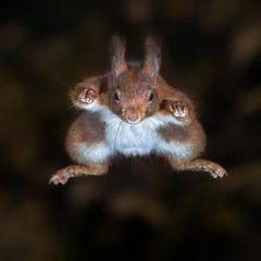 Cute Eurasian red squirrel (Sciurus vulgaris) jumps out of a tree. Tessenderlo, Belgium. Black background.