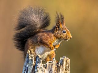 Red squirrel looking alert