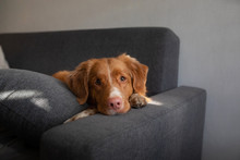 The Dog Is Lying At Home On The Couch. Nova Scotia Duck Tolling Retriever Resting.