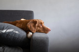 Fototapeta Zwierzęta - the dog is lying at home on the couch. Nova Scotia Duck Tolling Retriever resting.